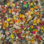 fall leaves for mulch or compost