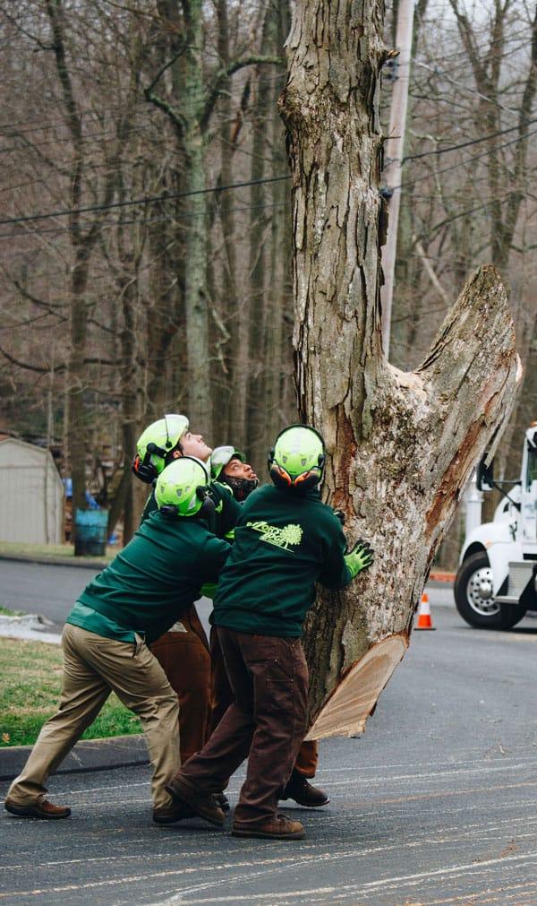Rayzor's Edge Tree Service crew carefully moving a cut down tree