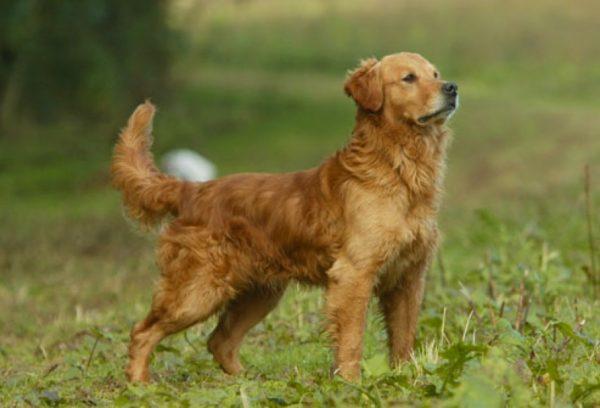 Scodinzolio Del Cane Significato E Come Interpretarlo