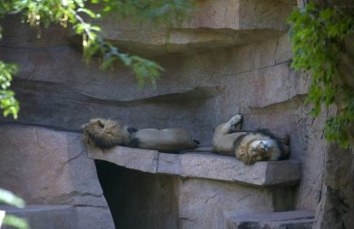 Lions are seen napping in the new lion exhibit on July 2, during a members only day at the Brookfield Zoo. (Alex Rogals/Staff Photographer)