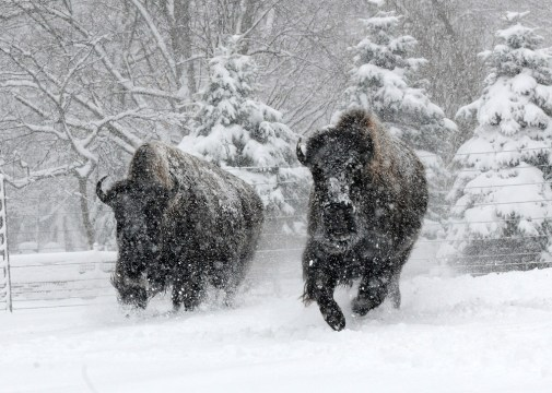 Bison at Brookfield Zoo didn't mind the heavy snow at all as it whipped the area on Sunday, Feb.1, but the zoo itself closed %u2014 for the 5th time in its 81-year history. (Jim Schulz/CZS)