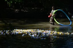 People purchased nearly 800 plastic ducks, the proceeds of which went to benefit Beautify Brookfield, the nonprofit created to supprt public art efforts by the Brookfield Beautification Commission. Number 389 won the race. | William Camargo/Staff photographer