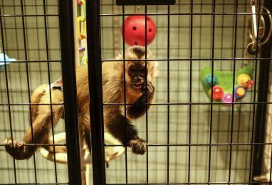 Among the animals that are part of the Exotic Wildlife Sanctuary in Brookfield is Lucian, a very active and friendly capuchin monkey.   William Camargo/Staff Photographer