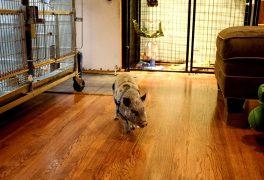 Cheech the potbellied pig.   William Camargo/Staff Photographer