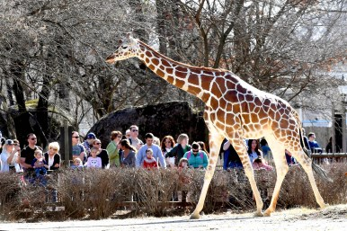 Visitors to Brookfield Zoo on Saturday, Feb. 18, were treated to an early outdoor appearance of the collection's giraffes, who usually don't venture outside until April. | JIM SCHULZ/CZS