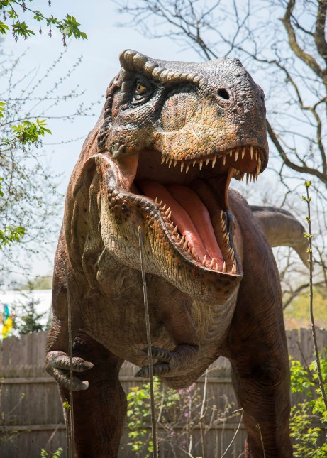 This fearsome Tyrannosaurus Rex is one of the many dinosaurs on display at Brookfield Zoo's Dinos and Dragons exhibit, which opens May 6. (Photo courtesy Chicago Zoological Society)