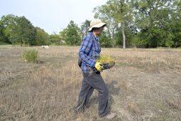 Living Habitats ecologist Daniel Lopez carries a flat of tallgrass plants to the planting area. | Alexa Rogals/Staff Photographer