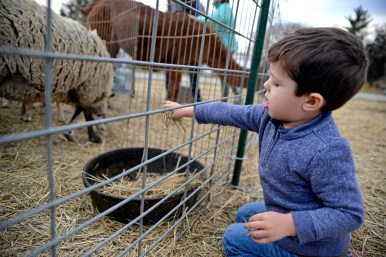 Thomas Chambers 2, of La Grange Park, feeds the sheep at a petting zoo on Dec. 2, at the Veterans Memorial Circle during the annual Holiday Walk and celebration throughout Brookfield. | ALEXA ROGALS/Staff Photographer