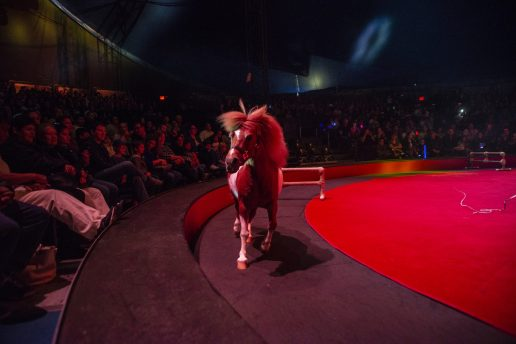 A miniature horse runs around the ring on Saturday, April 20, 2019, during the Circo Hermanos Vasquez traveling circus in the parking lot at North Riverside Park Mall. | ALEXA ROGALS/Staff Photographer