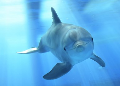 Magic the dolphin (Photo courtesy of the Chicago Zoological Society)
