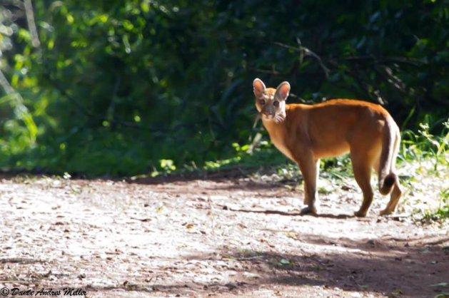 Ameaçada de extinção, rara onça-parda é fotografada no Parque Estadual do Turvo