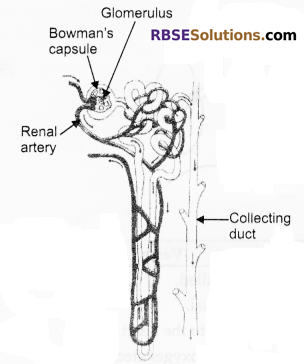 RBSE Solutions for Class 10 Science Chapter 2 Human System