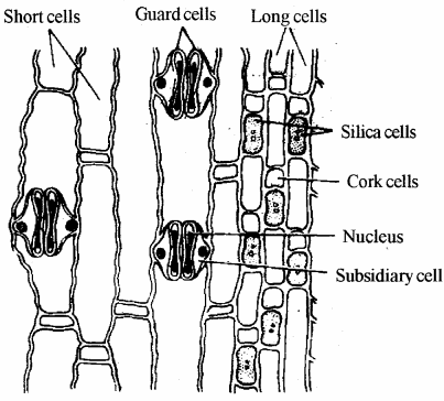 RBSE Solutions for Class 11 Biology Chapter 14 Plant Tissue System