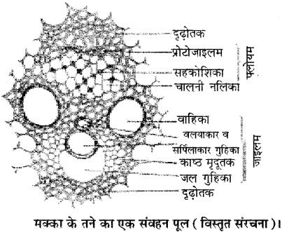 RBSE Solutions for Class 11 Biology Chapter 15 जड़, तना तथा पत्ती की आंतरिक संरचना