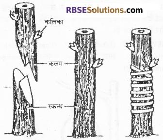RBSE Solutions for Class 12 Biology Chapter 1 आवृतबीजी पादपों में जनन; कायिक, अलैंगिक, लैंगिक 5