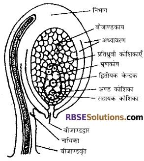 RBSE Solutions for Class 12 Biology Chapter 2 नर एवं मादा युग्मकोभिद-संरचना व विकास 11