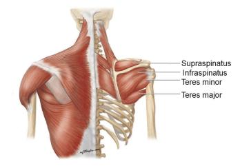 Upper Back Anatomy - Teres Major & Minor