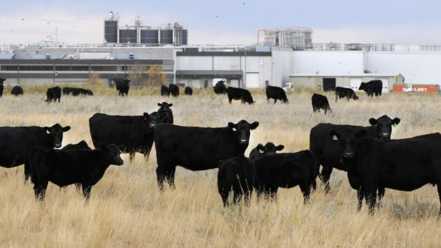 صناعة اللحوم من أهمّ القطاعات في ألبرتا/Larry Macdougal/PC