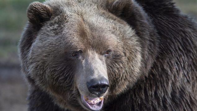 غالبًا ما يكون لون دبّ الغريزلي بنيًا. أمّا فرو الدببة البنية فيكون أكثر تنوعًا ويتراوح من الأشقر الفاتح إلى الأسود - Jacques Boissinot / The Canadian Press
