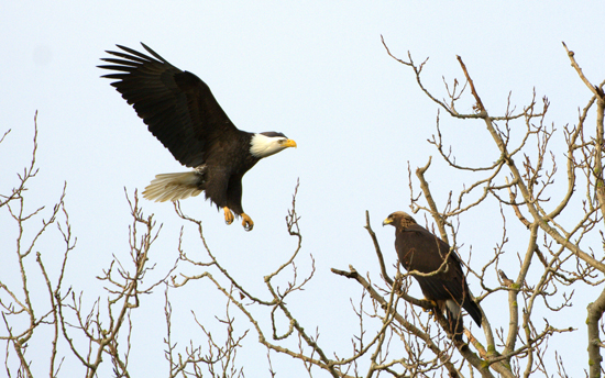 Photograph of bald eagle approaching a golden eagle (Source of photo - Harold Feiertag)