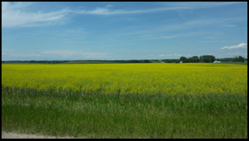 Alberta Canola fields surround the RCMP Police Service Dog Centre
