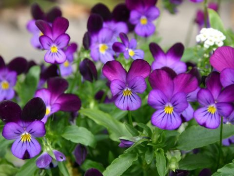 9 Best Flowers for Garden Design   Reader s Digest Viola is a huge genus of flowering plants including some 400 to 500  species  Leaves of these species are usually heart shaped and  scalloped shaped