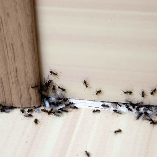 Remove Ants Naturally