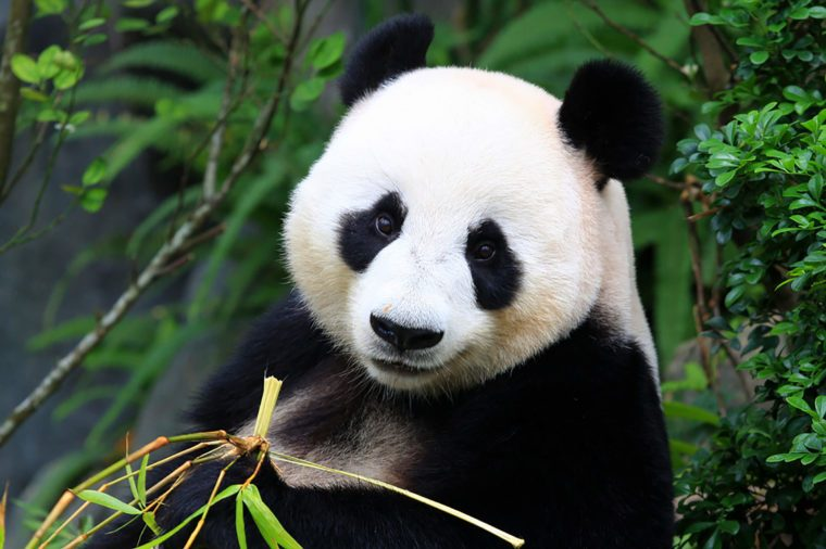Can You Guess These Animals Based on Close Ups of Their Fur     Panda