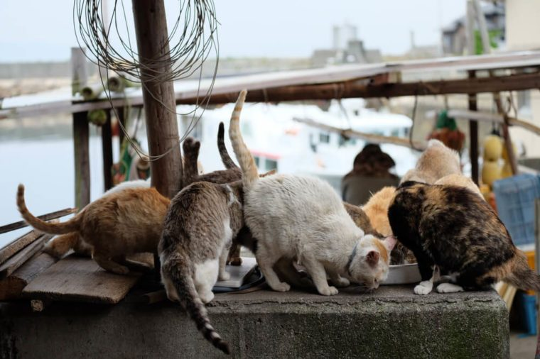 Cats of aosima Japan