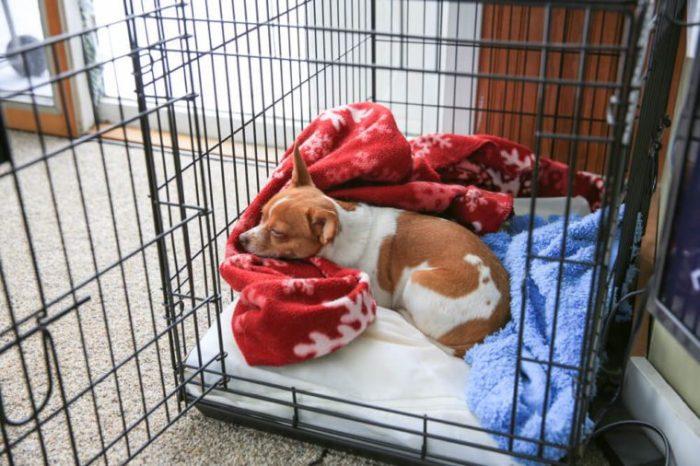 Um cachorro de chihuahua dormindo em sua caixa