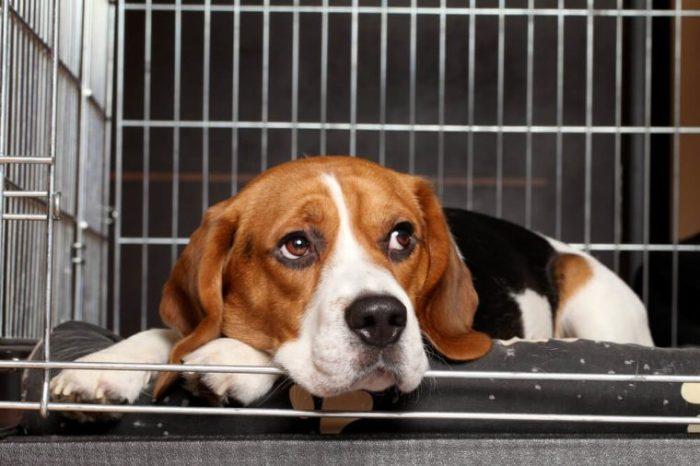 Triste cachorro beagle deitado na gaiola