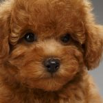 Puppies That Look Like Teddy Bears Reader S Digest