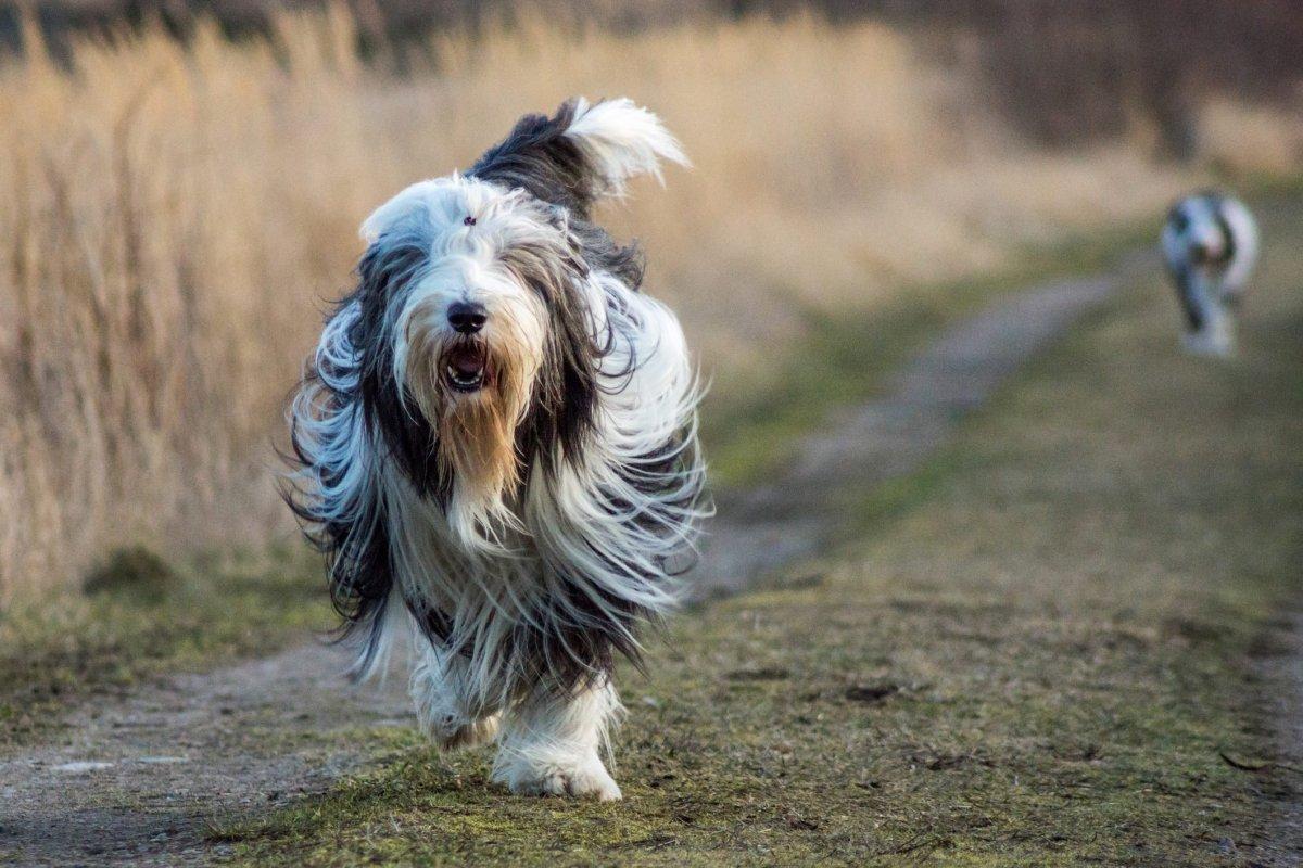 Bearded Collie Walking In Field