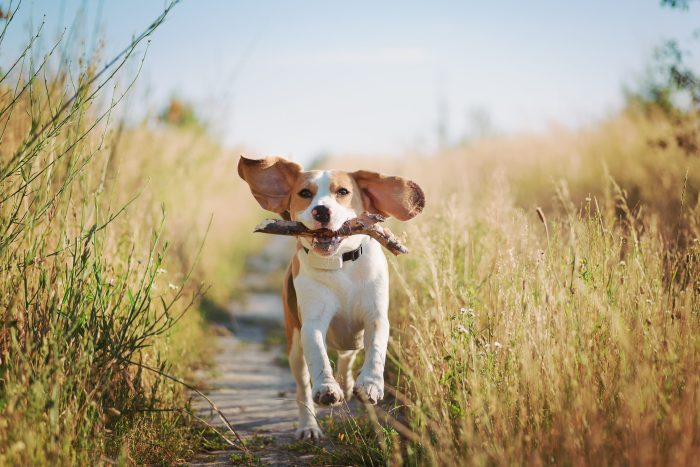 Beagle running towards camera with stick in mouth and ears flopping in the wind