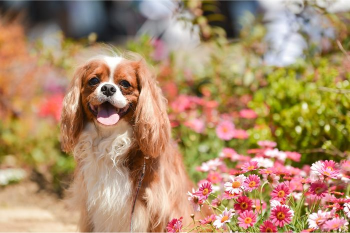 Portrait of a Cavalier King Charles Spaniel sitting in front of a flower garden