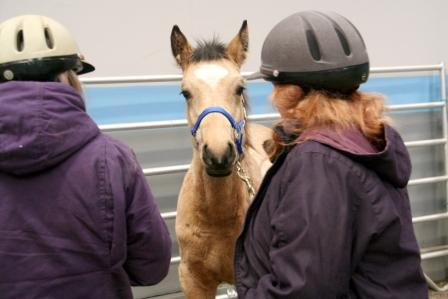 The Comprehensive Foal Gentling Course with Anna Twinney