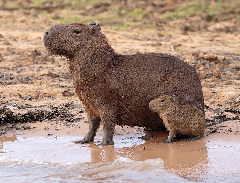 Capybara In Hindi