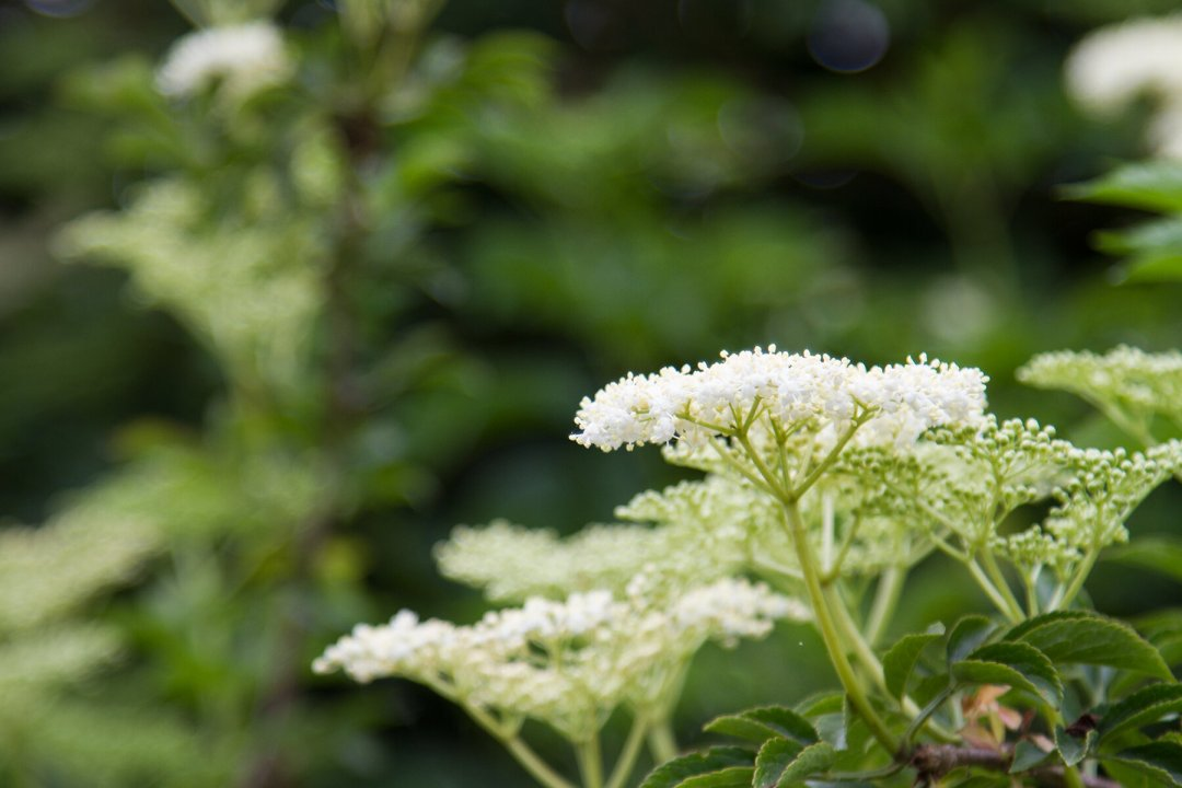 elderflower_reading_my_tea_leaves_IMG_0502