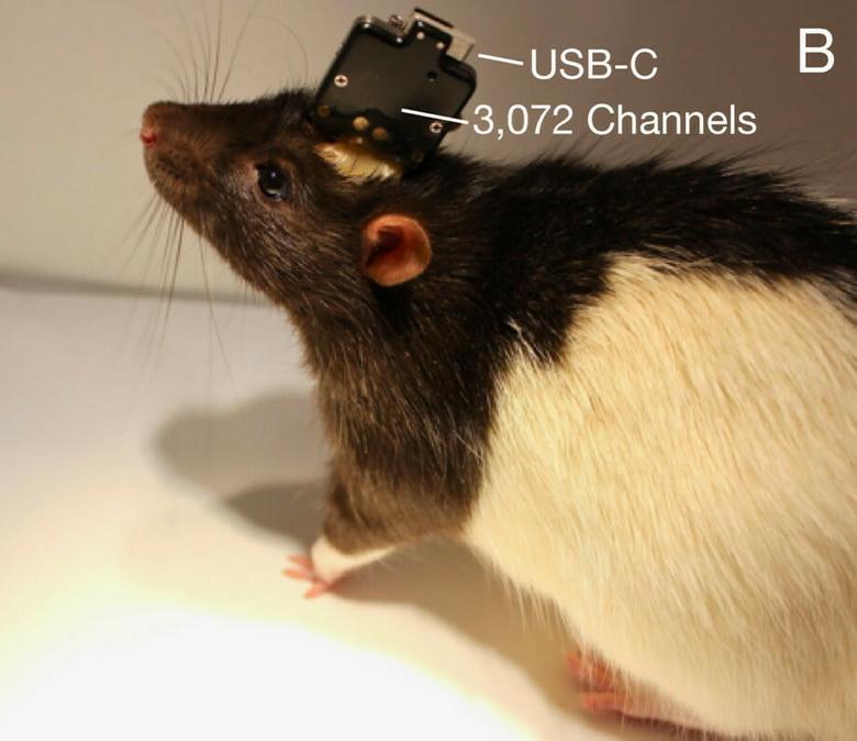 Крыса с вживлённым чипом Neuralink