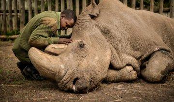Судану – последнему самцу вымирающего подвида северного белого носорога – было уже 45 лет, когда он умер. Он прожил долгую жизнь. Последние годы Судан провел на родных пастбищах – правда, его всегда сопровождала вооруженная охрана для защиты от браконьеров. Он даже приобрел большую известность – этого носорога добродушно стали называть «самым завидным женихом в мире». Перед смертью Судан был окружен людьми, которые все эти годы любили и защищали его. Джозеф Вачира (на снимке), один из смотрителей, подошел, чтобы еще раз почесать его за ухом. Судан прислонился своей тяжелой головой к голове Вачиры. Ами Витале сделала фотографию двух старых друзей – они были вместе в последний раз. Фото: Ами Витале