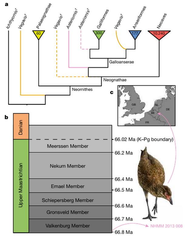 Место находки астериорниса и его предполагаемые положения на филогенетическом древе птиц (отмечены розовой сплошной линией и розовым пунктиром)