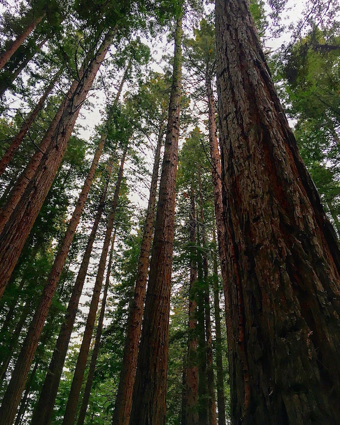 Rotorua Redwoods 1