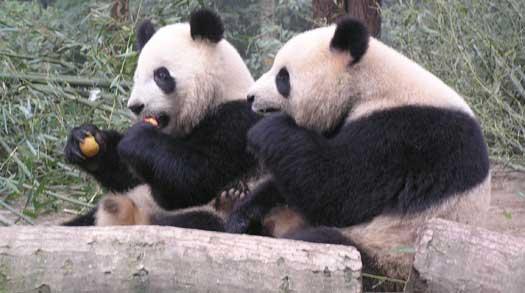 Best Place to See Pandas in China