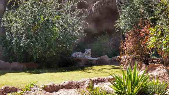Teneryfa - Loro Park (biały tygrys)
