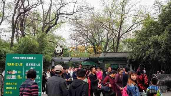Pandy wielkie w zoo w Pekinie, Chiny