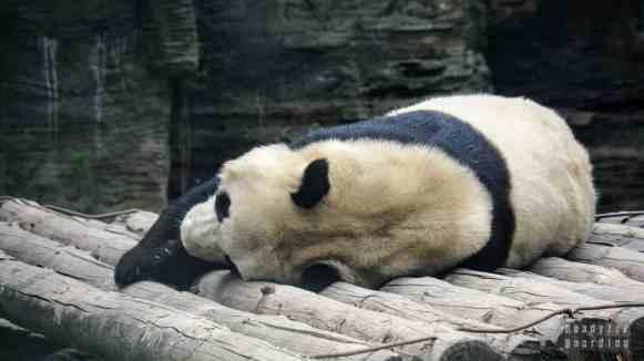 Panda wielka w zoo w Pekinie, Chiny
