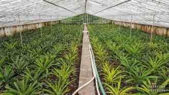 Plantacja ananasów na Azorach