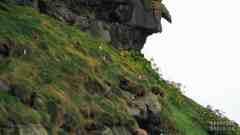 Puffiny w Gjógv, Eysturoy - Wyspy Owcze
