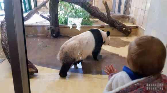 Pandy wielkie w zoo w Wiedniu - Austria