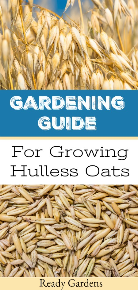 """Hulless oats are whole oats grown without the exterior hull, which means they require less processing after harvest and can be rolled or ground into flour. They also provide a quick and healthy breakfast. In our ongoing quest to become more self-sustaining, why we've put together this """"seed to table"""" growing guide so you can try to grow your own hullessoats. #ReadyGardens"""